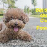 100 cách đặt tên cho chó Poodle độc lạ mà vẫn cực dễ thương