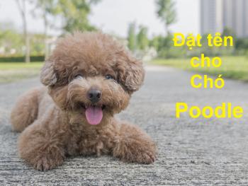 Hướng dẫn đặt tên cho chó Poodle, tên hay cho chó Poodle