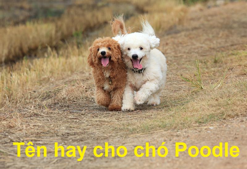 Tên hay cho chó Poodle, đặt tên cho chó Poodle đực, đặt tên cho chó Poodle cái