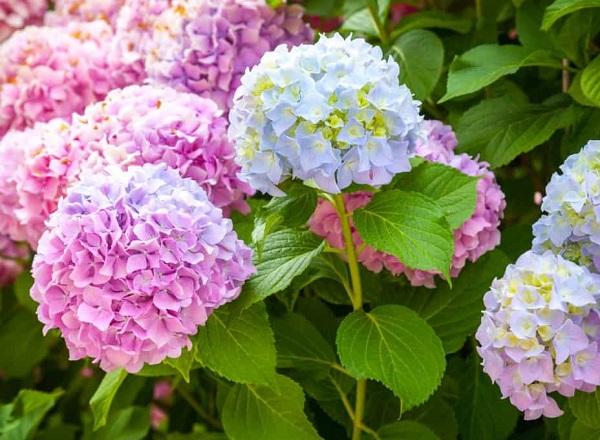Đặt tên cho con gái theo tên loài hoa, đặt tên con gái theo hoa cẩm tú cầu