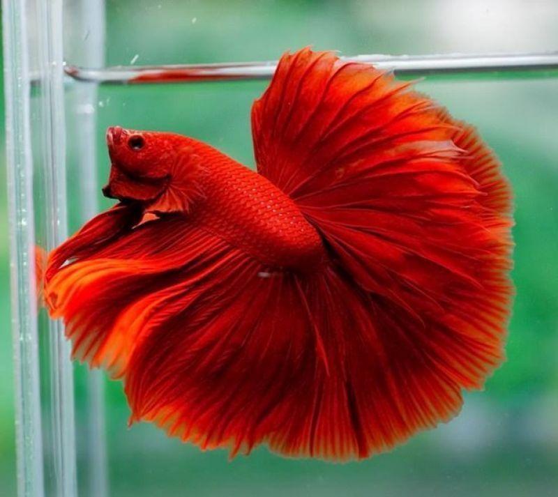 Hướng dẫn đặt tên cá cảnh theo màu. Đặt tên cá cảnh theo màu đỏ