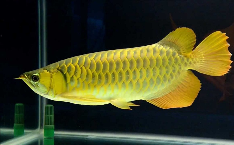 Đặt tên cá cảnh theo màu vàng