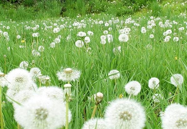 Một số loài hoa đẹp và ý nghĩa, hoa bồ công anh