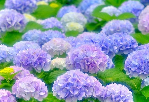 Ý nghĩa các loài hoa, hoa cẩm tú cầu