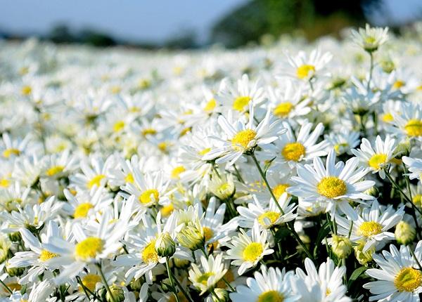 Tên các loài hoa đẹp và ý nghĩa, Hoa cúc họa mi