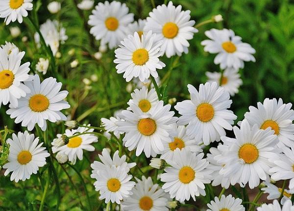 Ý nghĩa các loài hoa, ý nghĩa hoa cúc trắng