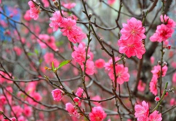 Ý nghĩa cÝ nghĩa các loài hoa chơi Tết, ý nghĩa hoa đàoác loài hoa, ý nghĩa hoa đào