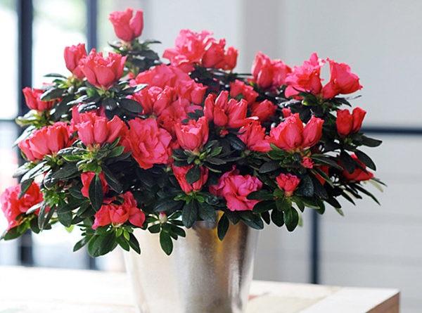 Ý nghĩa các loài hoa, ý nghĩa hoa đỗ quyên