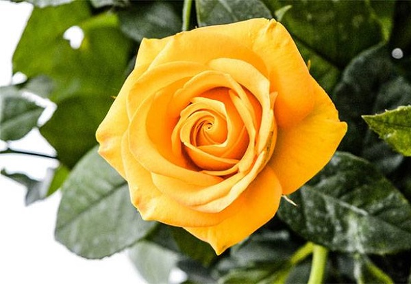 Ý nghĩa các loài hoa, ý nghĩa hoa hồng vàng
