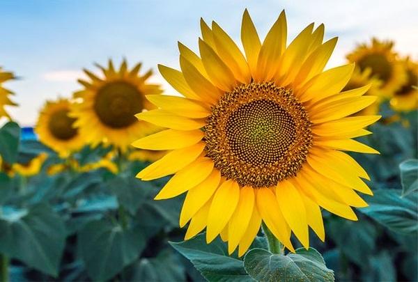 Tên các loài hoa đẹp và ý nghĩa, hoa hướng dương