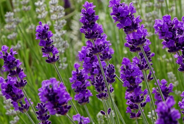 Tên các loài hoa đẹp và ý nghĩa, hoa lavender