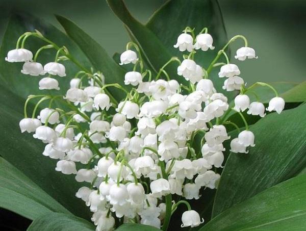 Ý nghĩa các loài hoa theo tháng, ý nghĩa hoa linh lan