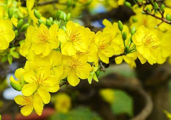 Ý nghĩa các loài hoa chơi Tết, ý nghĩa hoa mai