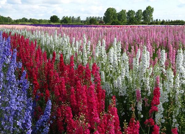 Ý nghĩa các loài hoa theo tháng, hoa phi yến