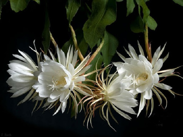 Ý nghĩa các loài hoa, ý nghĩa hoa quỳnh