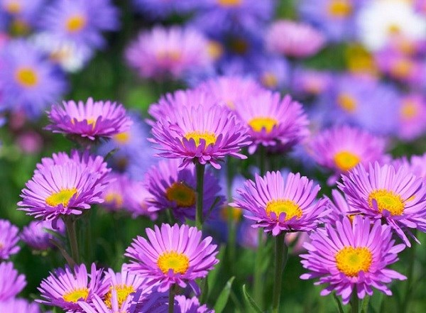 Ý nghĩa các loài hoa, hoa thạch thảo
