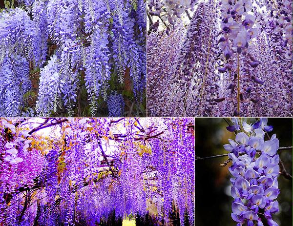 Tên các loài hoa đẹp và ý nghĩa, hoa tử đằng