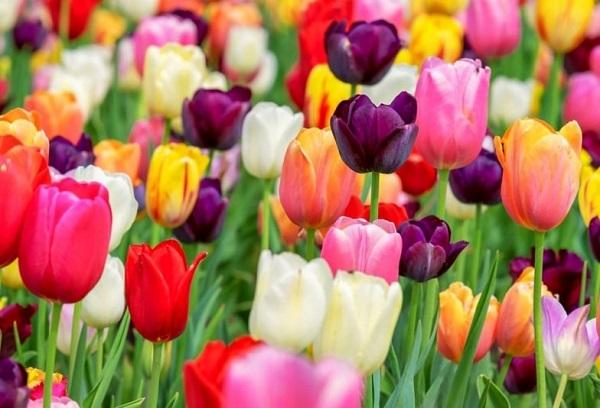 Tên các loài hoa đẹp và ý nghĩa, hoa Tulip