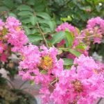 Ý nghĩa tên Tường Vy - tên loài hoa thể hiện tình yêu thương