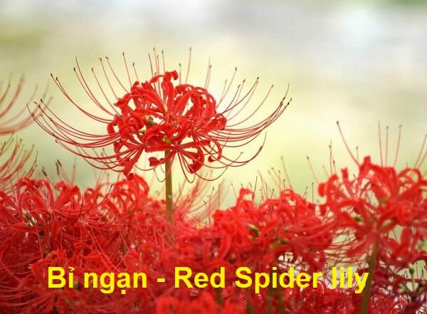 Tên các loài hoa bằng tiếng Anh, hoa bỉ ngạn tiếng Anh là gì?