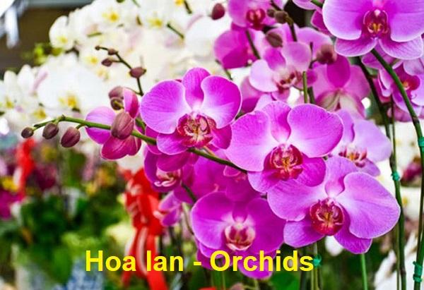 Tên tiếng Anh của các loài hoa, tên tiếng Anh của hoa lan