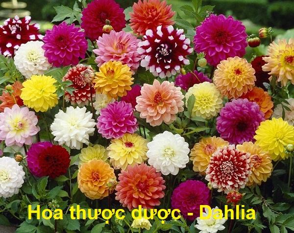 Tên tiếng Anh của các loài hoa, hoa thược dược tiếng Anh là gì?