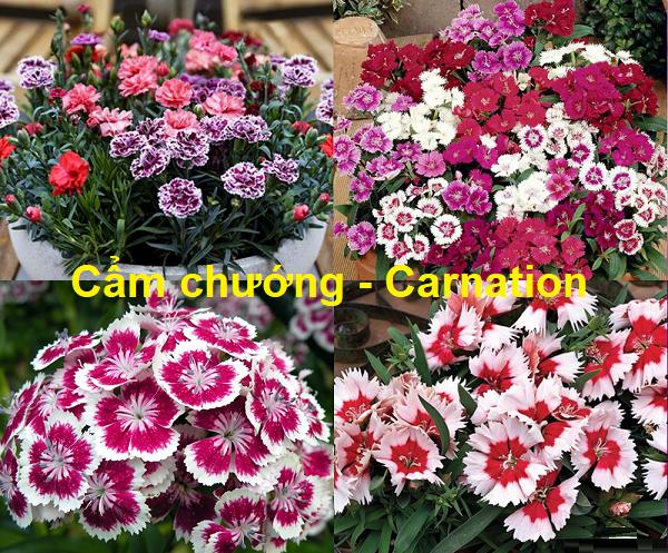 Tên tiếng Anh của các loài hoa, hoa cẩm chướng tiếng Anh là gì?