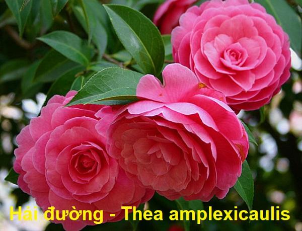 Tên các loài hoa bằng tiếng Anh, tên tiếng Anh của hoa hải đường